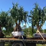 Pandanus Pedunculatus' loaded onto truck