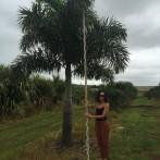 Foxtail Palm.