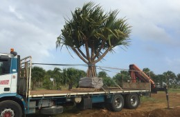 Pandanus Utilis Large – Please Contact For Price.